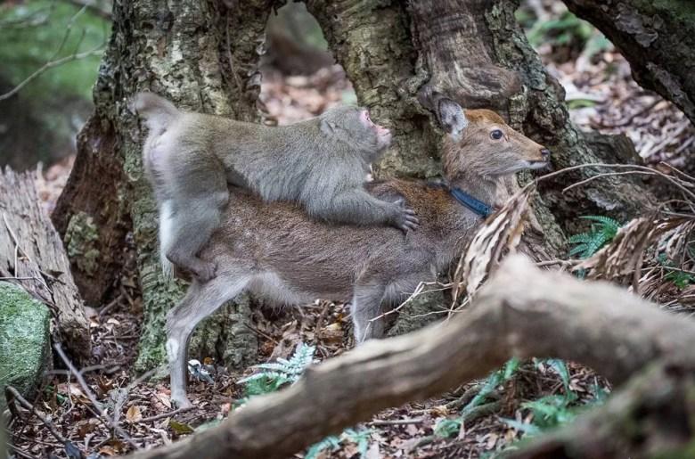Sem chegar a penetrar a fêmea, o jovem macaco realiza movimentos sexuais, em geral tolerados pela parceira improvisada. (Foto: Alexandre Bonnefoy/Editions Issekinicho/AFP)