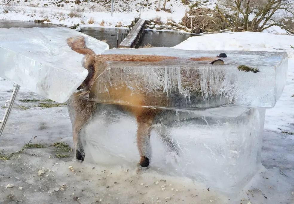 Animal caiu na água ao caminhar sobre fina camada de gelo que cobria rio Danúbio, no sudoeste da Alemanha, diz caçador. (Foto: Johannes Stehle/Dpa/AFP)