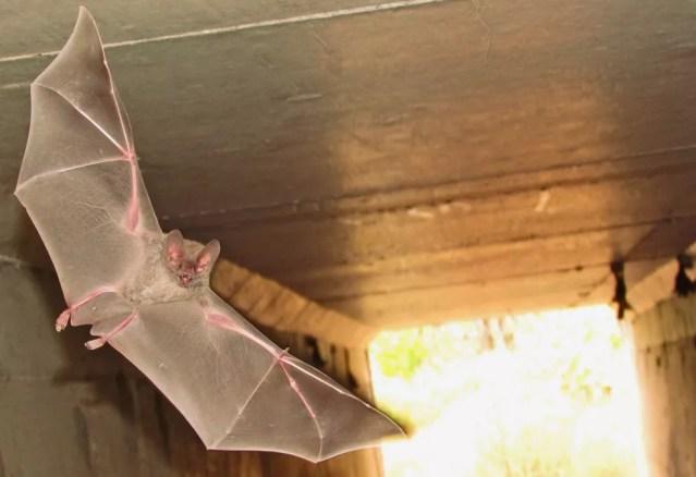 O sistema imunológico dos morcegos teria sido adaptado para permitir que eles voassem, acreditam os especialistas — Foto: Leandro Oliveira/Cemafauna/Arquivo