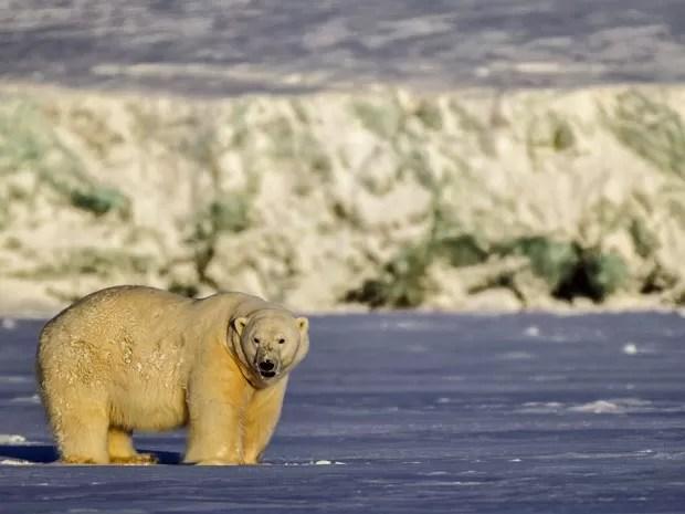 Um dos ursos fotografados pelo brasileiro na Noruega (Foto: Francisco Mattos)