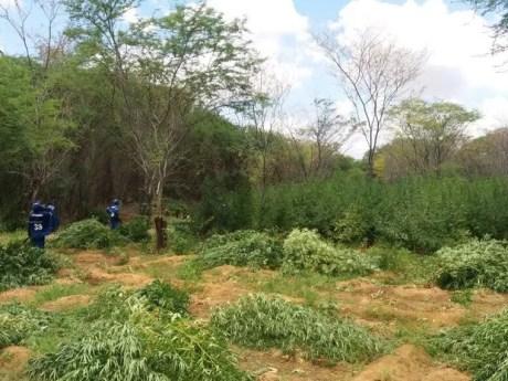 48 mil pés de maconha foram erradicados no Sertão de Pernambuco (Foto: Divulgação / Polícia Federal)
