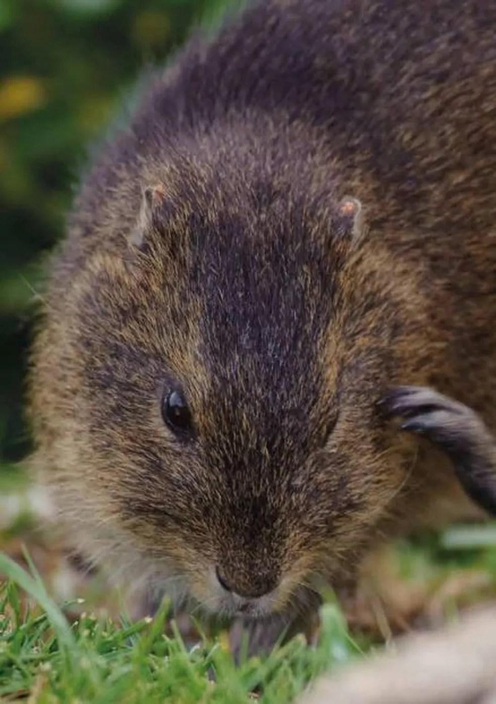 Animal se alimenta de plantas e é o único mamífero da ilha — Foto: Plano de ação para conservação de SC/Reprodução
