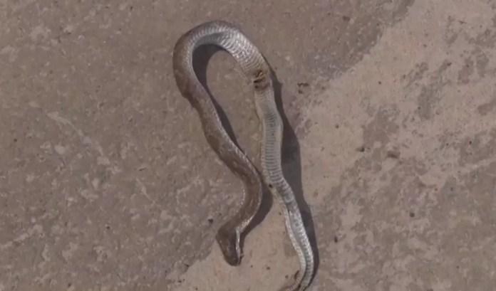 Bombeiros registram aparecimento de 14 cobras venenosas em Teixeira de Freitas, neste ano — Foto: Reprodução/TV Santa Cruz