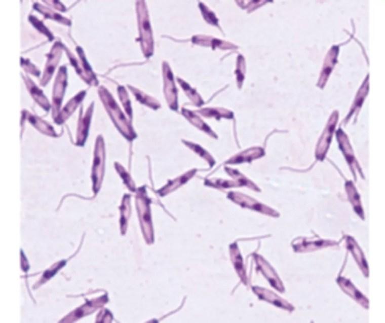 Parasitas desconhecidos causam doença parecida com leishmaniose no Nordeste — Foto: Divulgação