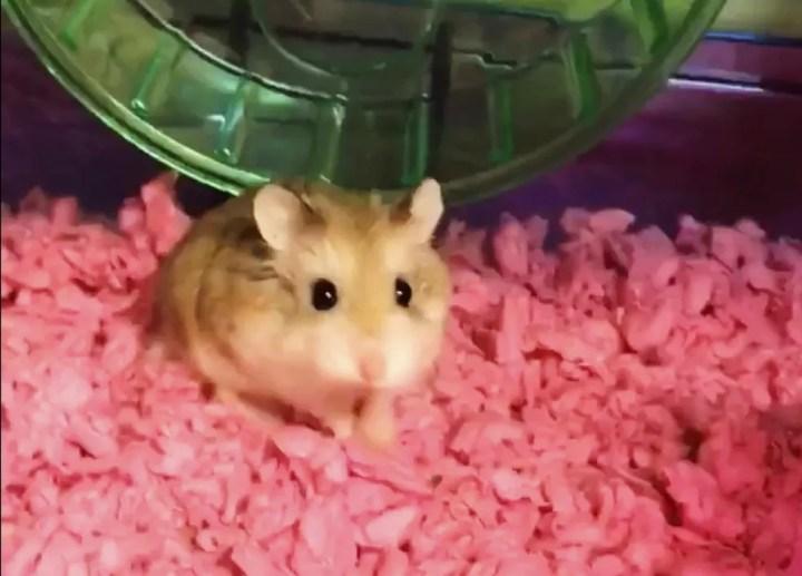 Imagem retirada de vídeo fornecido por Belen Aldecosea mostra o hamster Pebbles, que foi jogado em sanitário após ser barrado em voo nos EUA (Foto: Belen Aldecosea via AP)
