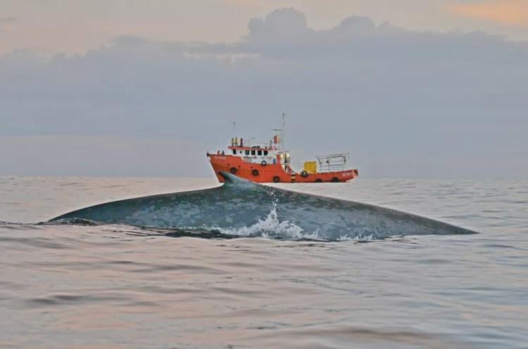 Baleia azul foi registrada pelos pesquisadores na costa de São Paulo — Foto: Divulgação/Sociambiental
