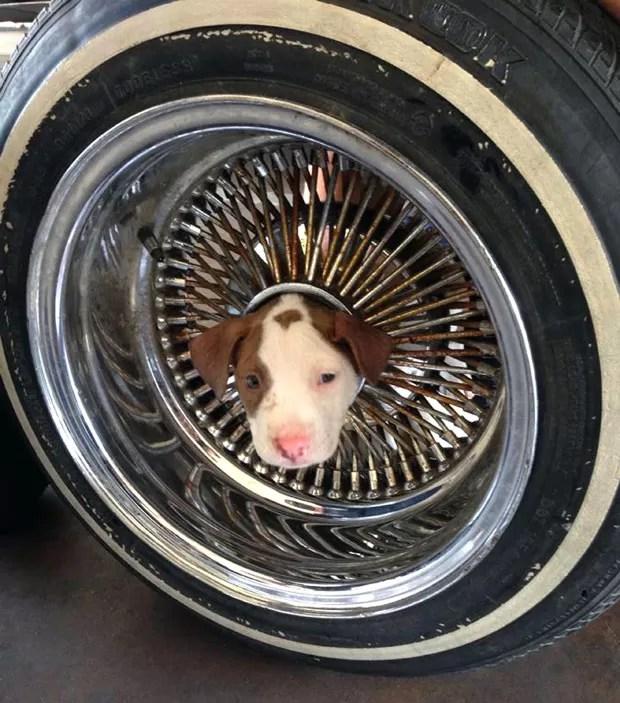 Cãozinho ficou com a cabeça entalada em roda de carro (Foto: James C. Dowell/AP)