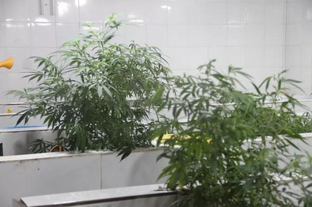 Abrace Esperança cultiva maconha para fins medicinais em estufas, em João Pessoa — Foto: André Resende/G1