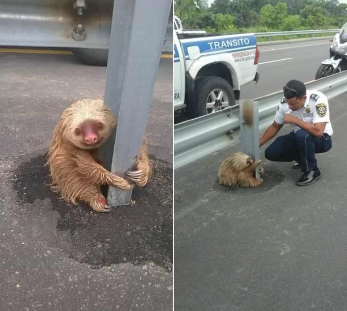 Bicho preguiça foi resgatado ao ser encontrado agarrado em barra de proteção de rodovia no Equador (Foto: Reprodução/Facebook/Comisión de Tránsito del Ecuador)