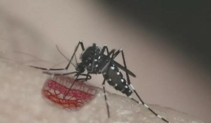 Mosquito Aedes aegypti — Foto: Reprodução EPTV