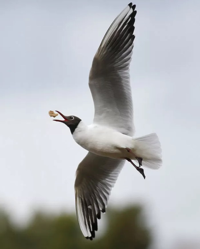 Imagem incrível mostra gaivota capturando pão em pleno voo (Foto: Sergei Grits/AP)