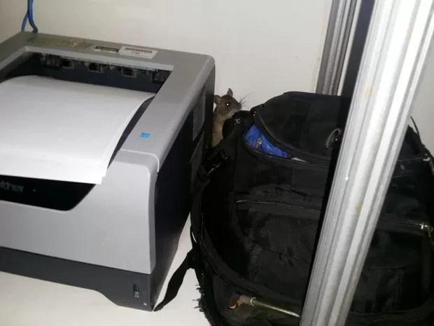Rato fo flagrado circulando em anexo do pronto socorro do HGP (Foto: Divulgação)