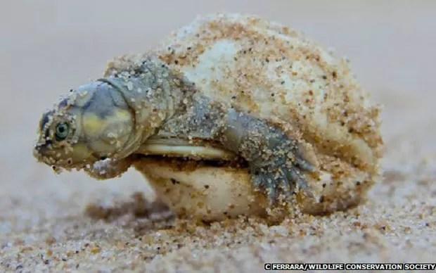 Cientistas registraram mais de 250 sons de tartarugas no Pará (Foto: C. Ferrara/Wildlife Conservation Society/BBC)