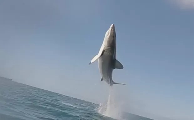 Tubarão branco deu salto impressionante em Mossel Bay, na África do Sul (Foto: Reprodução/YouTube/White Shark Video)