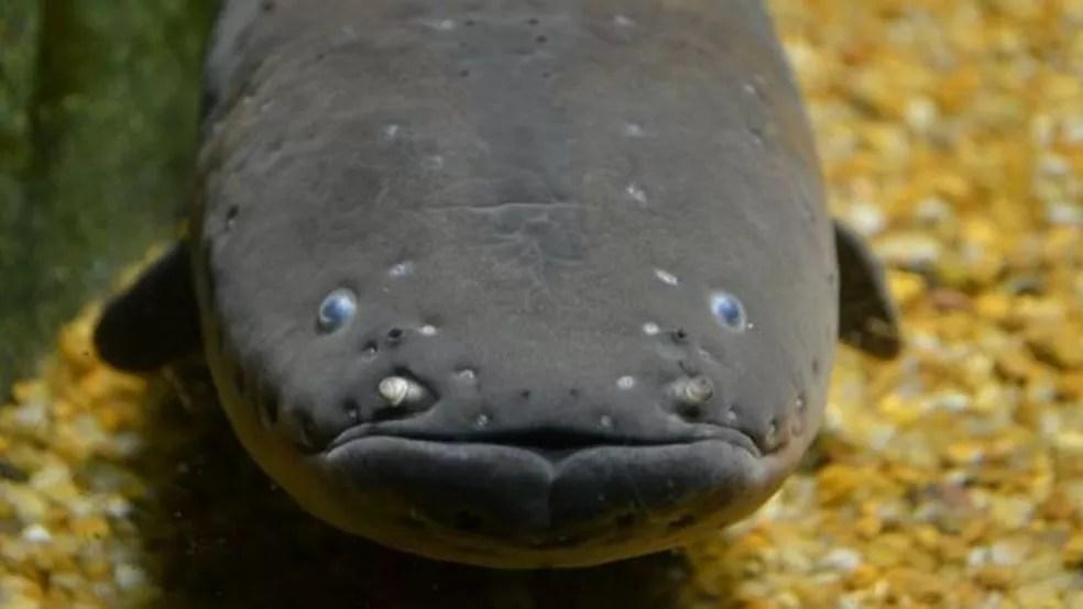 A outra espécie descoberta é o 'Electrophorus varii' — Foto: Fernando Jerep/Arquivo Pessoal/BBC News