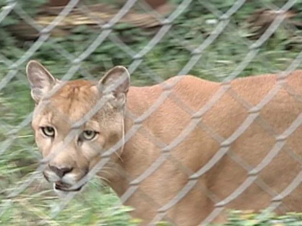 Onça parda é um animal em extinção e em cativeiro vive 20 anos (Foto: reprodução/TV Tem)