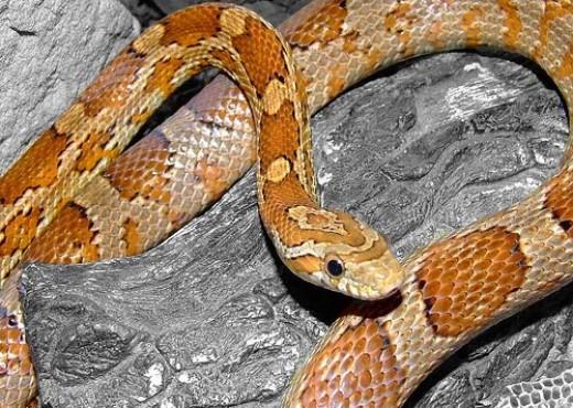 Best Beginner Pet Snakes