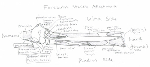 Intro to Anatomy 2 (MUSCLES)