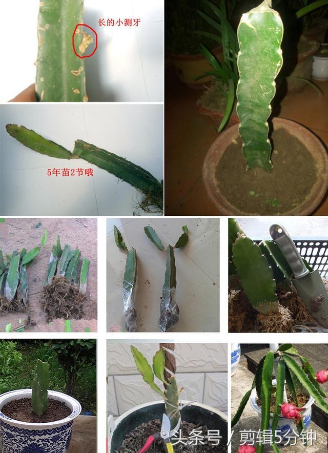 我種火龍果盆栽多年卻不結果。向果農取經後才知道。原來開花時「這樣做」火龍果便能結不停! - 讀讀