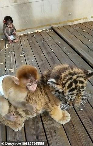 從小一起長大!猴子老虎「跨界好麻吉」每天黏踢踢 嗨玩「騎馬打仗」:出發囉~ - 讀讀