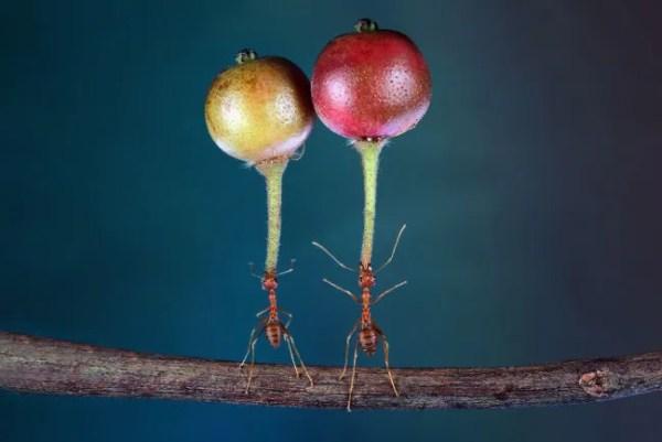 As formigas podem levantar objetos várias vezes mais pesados que seus corpos.