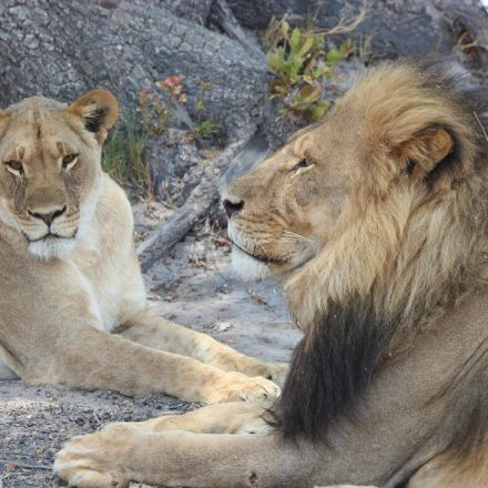 Cecil the lion's legacy: death brings new hope for his grandcubs