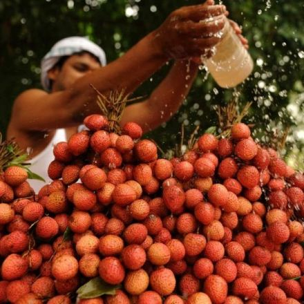 Indian children died after 'eating lychees on empty stomach'