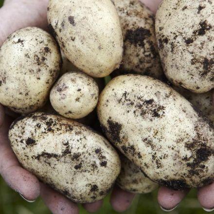 Study: Potatoes can grow on Mars