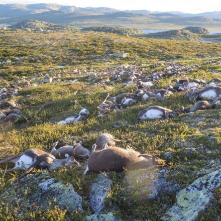 A lightning strike killed 323 reindeer, and this is the ghastly aftermath