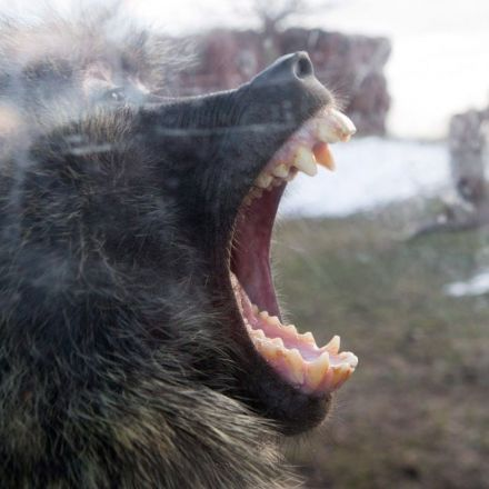 Long battle for baboon throne ends in female taking top spot at Toronto zoo