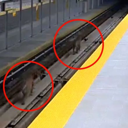 Cougars spotted 'taking a stroll' along SkyTrain tracks in Port Moody,B.C.