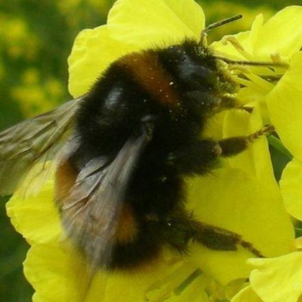 Bumblebees: Pesticide 'Reduces Queen Egg Development'