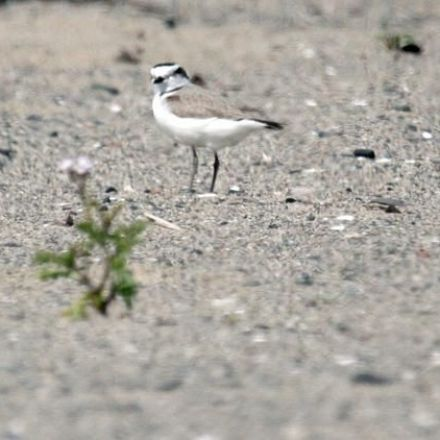 Rare birds find Southern California Beach Housing