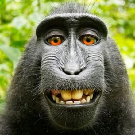 The Selfie-Taking Monkey Who Has No Idea He Has Lawyers Has Appealed His Copyright Lawsuit