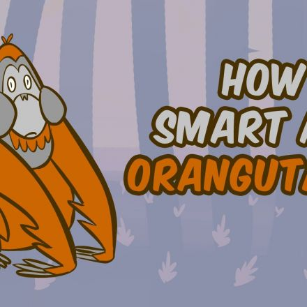 How smart are orangutans?