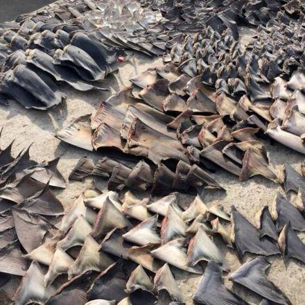Butchered shark fins seized from shrimp boat off Key West