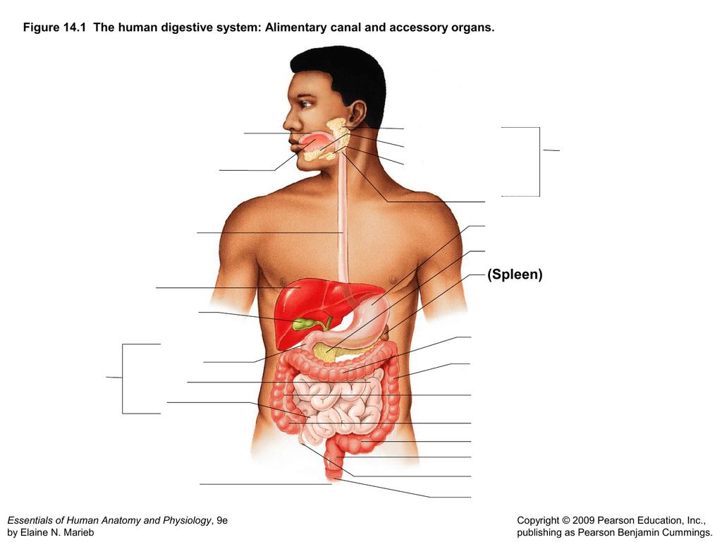 A Small Intestine