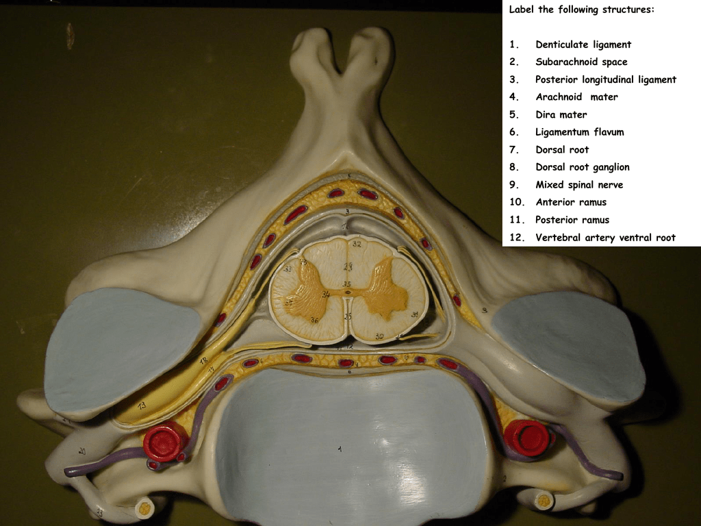 Spinal Cord Cross Section Models