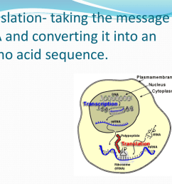 dna translation diagram ribosome [ 1024 x 768 Pixel ]