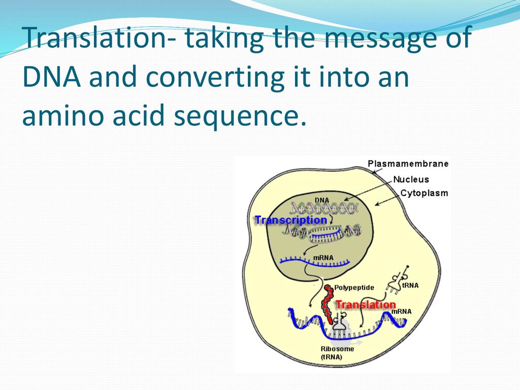 hight resolution of dna translation diagram ribosome