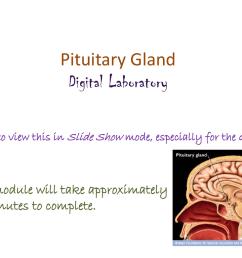 pituitary gland diagram [ 1024 x 768 Pixel ]