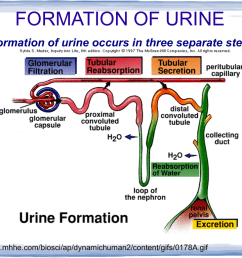 formation of urine the formation of urine occurs in three separate steps http www mhhe com biosci ap dynamichuman2 content gifs 0178a gif filtration the  [ 1024 x 768 Pixel ]