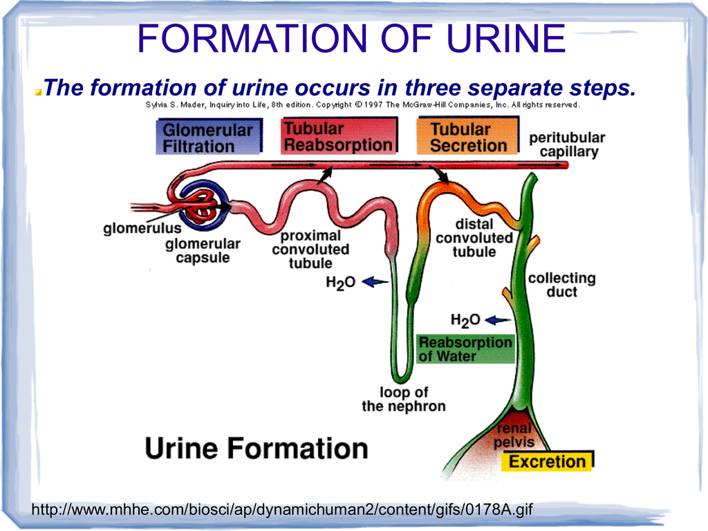 hight resolution of formation of urine the formation of urine occurs in three separate steps http www mhhe com biosci ap dynamichuman2 content gifs 0178a gif filtration the