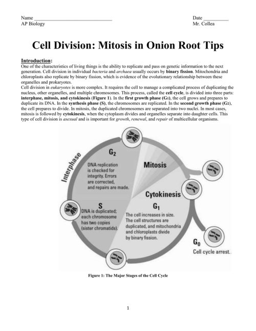 small resolution of labeled onion cell diagram mitosi
