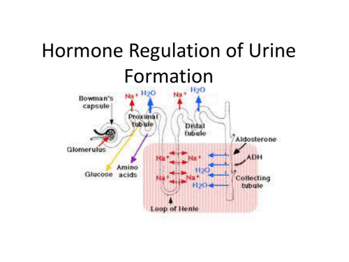 small resolution of hormone regulation of urine formation antidiuretic hormone adh antidiuretic hormone is produced by the hypothalamus adh is a peptide hormone