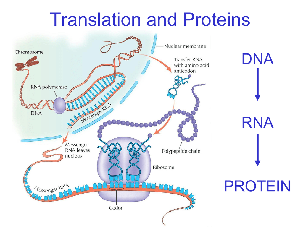12 3 Rna And Protein Synthesis