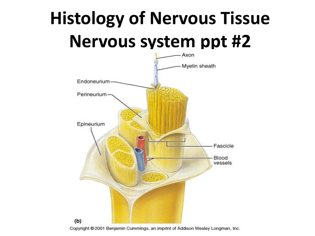 Histology Of Nervous Tissue Nervous System Ppt 2