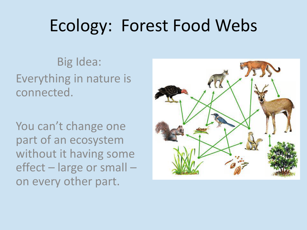 Forest Food Webs Slideshow 4 Forest Food Webs