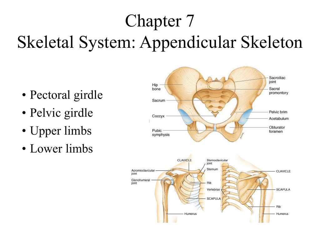 Introduction To The Appendicular Skeleton