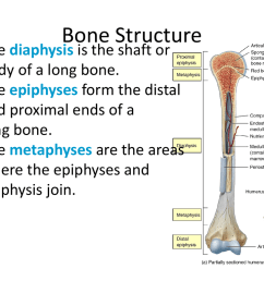 bone structure the diaphysis is the shaft or body of a long bone the epiphyses form the distal and proximal ends of a long bone  [ 1024 x 768 Pixel ]